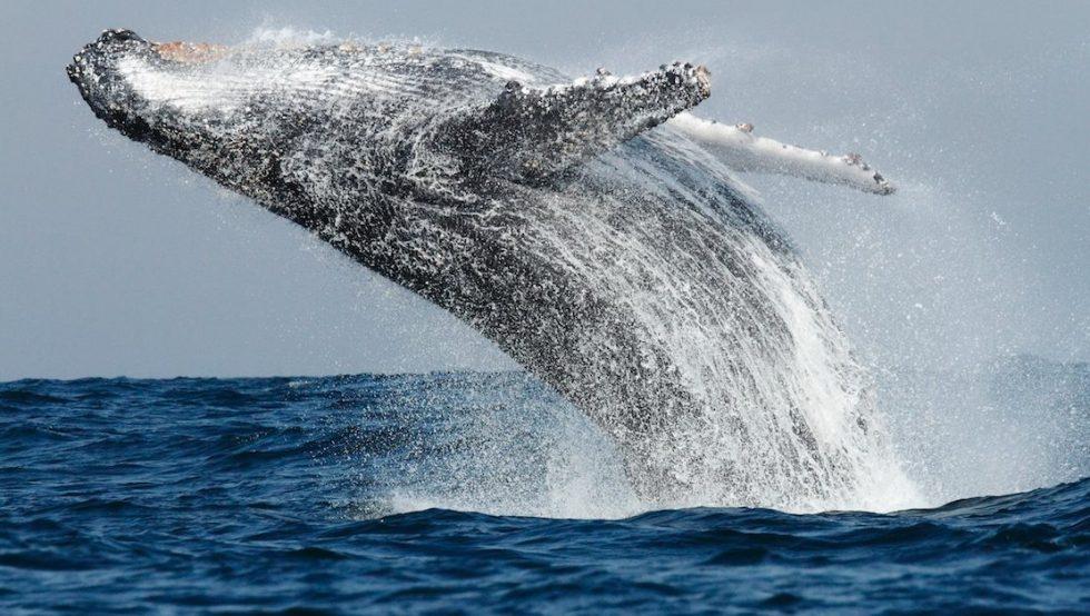 Saut d'une baleine